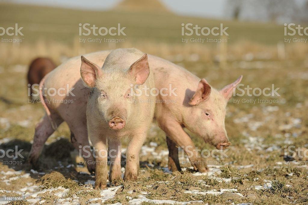Happy free range organic pigs stock photo