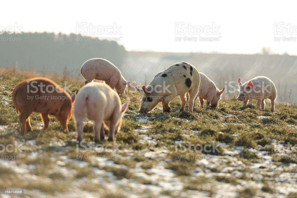 Happy free range organic pigs walking in snowy grassy fields stock photo
