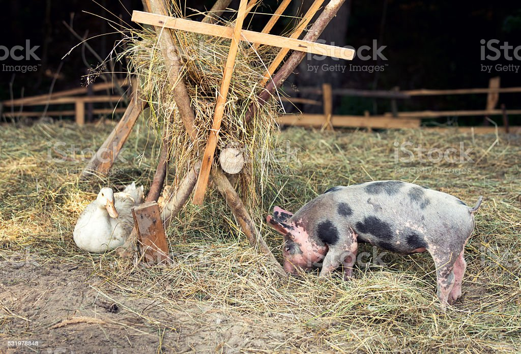 Happy free range, outdoor bred piglet, goose and duck stock photo