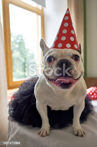 Portrait of cheerful french bulldog dressed for birthday party or carnival.  Nice cute puppy with a party hat