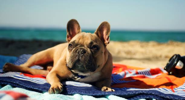 Happy French bulldog on the sea beach French bulldog on the sea beach in Greece french bulldog stock pictures, royalty-free photos & images