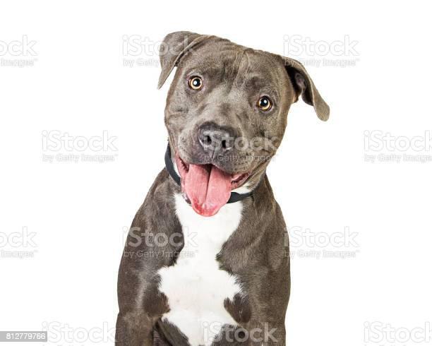 Happy friendly smiling pit bull dog picture id812779766?b=1&k=6&m=812779766&s=612x612&h=na3wnj8hahxar8cmqkkc339xhmxwxcrnkfmqdzxy9c0=