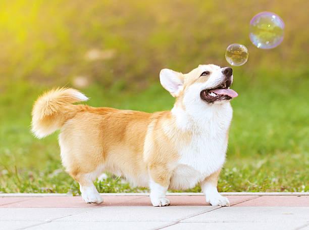 glücklich lustige hund und soap bubbles - welsh corgi pembroke stock-fotos und bilder