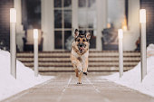 happy german shepherd dog running in the yard in winter
