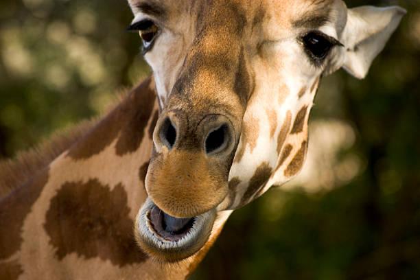Happy Giraffe Face stock photo