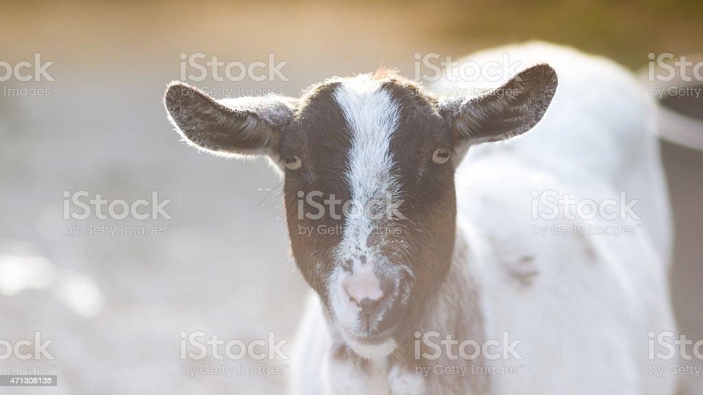 Happy Goat stock photo