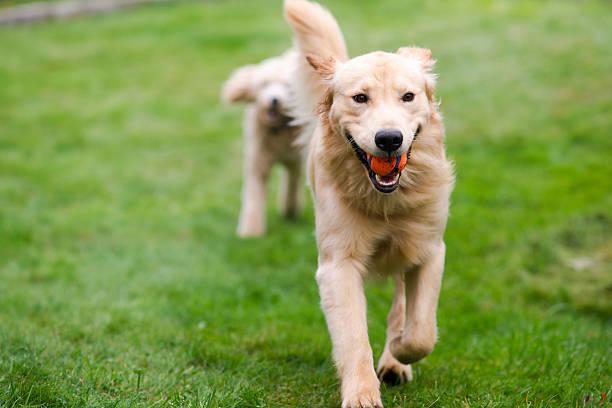 Happy golden retreiver dog with poodle playing fetch dogs pets picture id451915253?b=1&k=6&m=451915253&s=612x612&w=0&h=eyogzfnjqmvet6ieskdwbyg i16qgj61arwy3pi9nms=