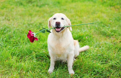 Happy Golden Retriever dog holding red flower in teeth on grass in summer day