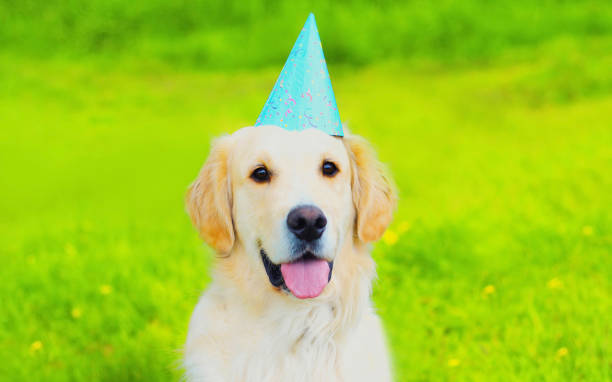 Happy Golden Retriever dog in birthday paper cap looking away on green grass in the park stock photo
