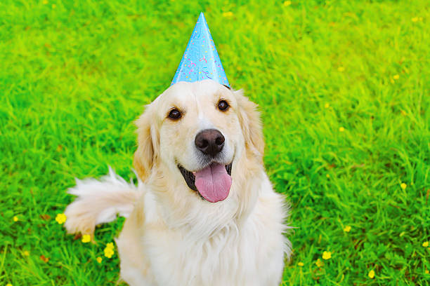 Happy golden retriever dog in birthday paper cap on grass picture id487262840?b=1&k=6&m=487262840&s=612x612&w=0&h=k4b4uwzb7gajxydl1c0cf0pwx64utezsdf9iygtxgtc=