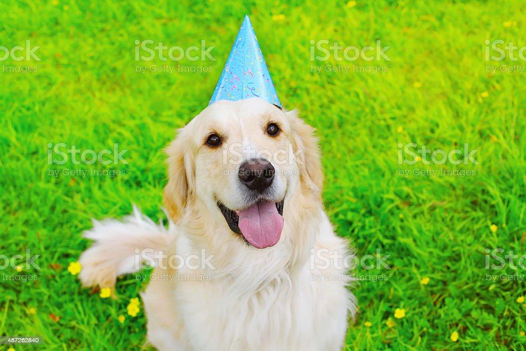 Happy Golden Retriever dog in birthday paper cap on grass stock photo