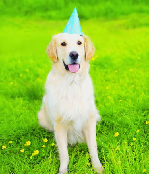 Happy Golden Retriever Hund in Geburtstagspapier Kappe auf grünem Gras am Sommertag sitzen – Foto