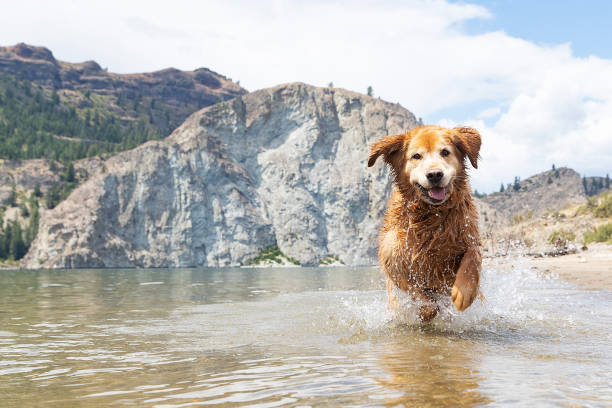 Happy golden retriever dog playing in lake picture id1165373887?b=1&k=6&m=1165373887&s=612x612&w=0&h=kwuxe3sfjjoek3ba7hwaix0o3hknuucpteqhujjvywk=