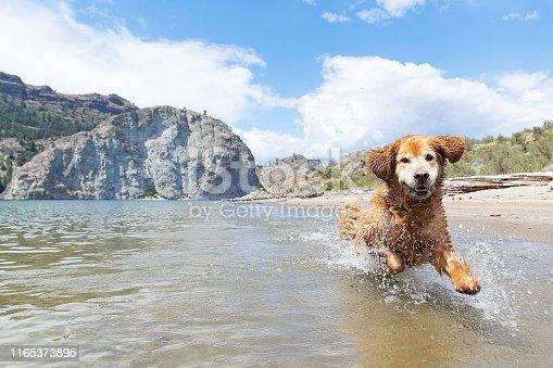 Wet golden retriever dog running and splashing in Lake Roosevelt