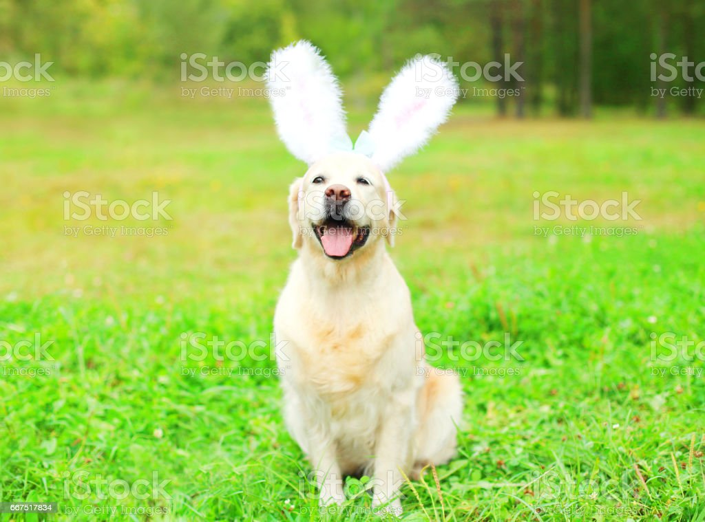 Happy Golden Retriever dog with a rabbit ears is sitting on the grass in a spring day foto stock royalty-free