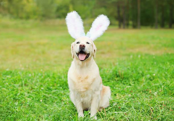 Happy Golden Retriever dog with rabbit ears sitting on grass stock photo