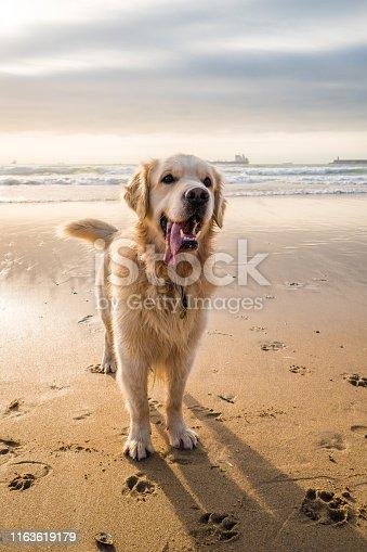 Beautiful playful golden retriever on the beach of Porto, Portugal