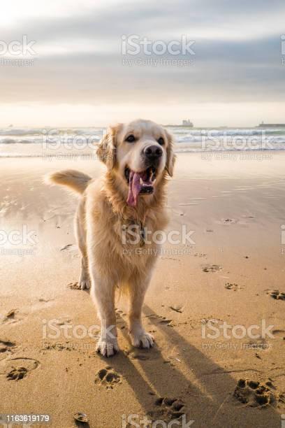 Happy golden retriever on the beach picture id1163619179?b=1&k=6&m=1163619179&s=612x612&h=r2a9aqbjd73yqhbfhxnxe 6tfhaofy6qzdrpnnkmbio=