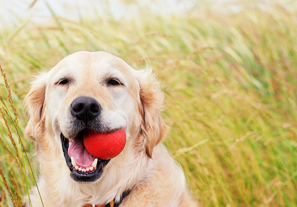 Happy Golden Retriever with ball stock photo