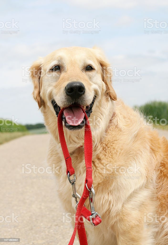 Happy Golden Retriever with leash royalty-free stock photo