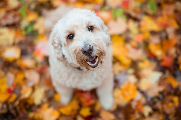 glad goldendoodle hund utanför i höstsäsongen - animal doodle bildbanksfoton och bilder