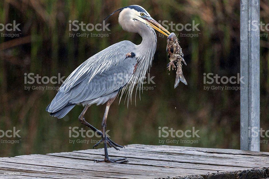 Happy Great Blue Heron stock photo