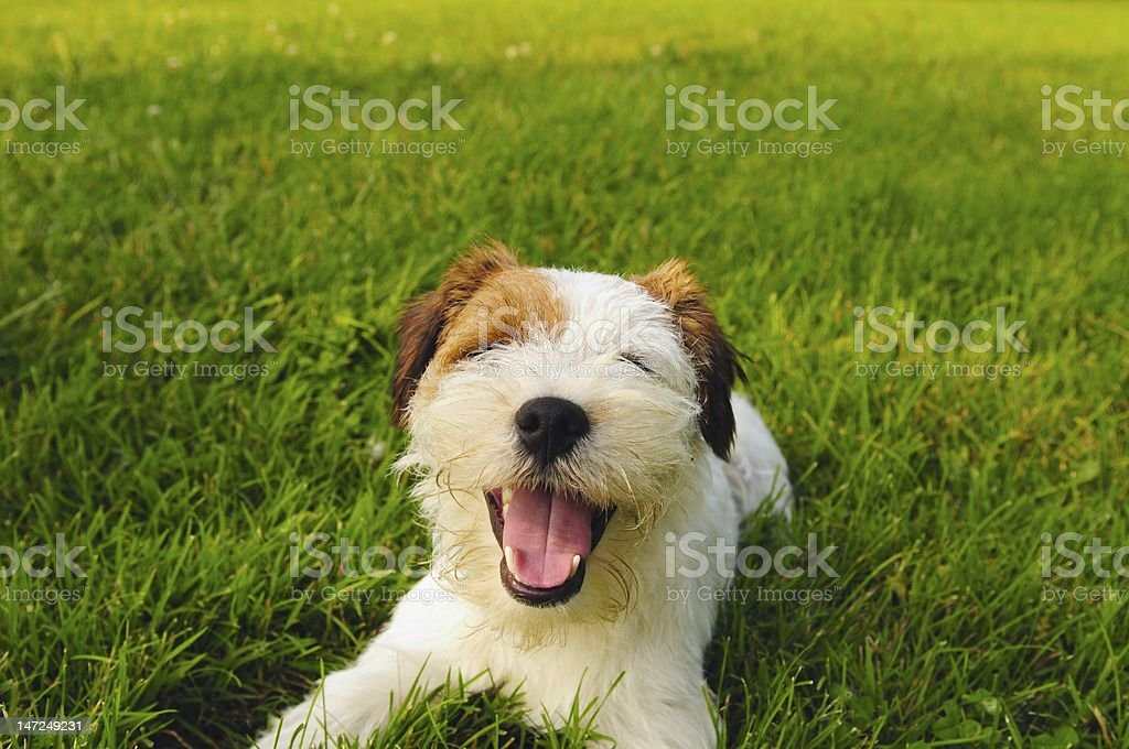 A happy grinning canine dog playing on the grass stock photo