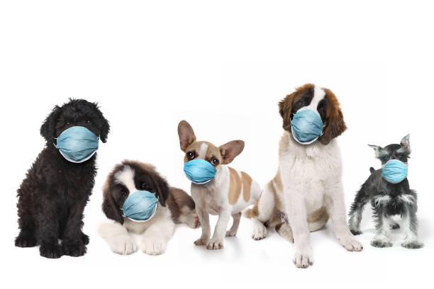 grupo feliz de cachorros que llevan máscaras protectoras para la cara - dog fotografías e imágenes de stock