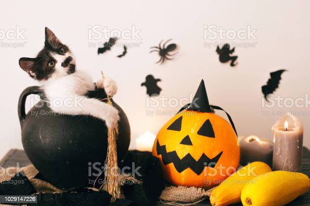 Happy halloween concept cute kitty sitting in witch cauldron with o picture id1029147226?b=1&k=6&m=1029147226&s=612x612&h=00efek02sjkvru3fmipuhgdbmat rfwszin6mnf nde=
