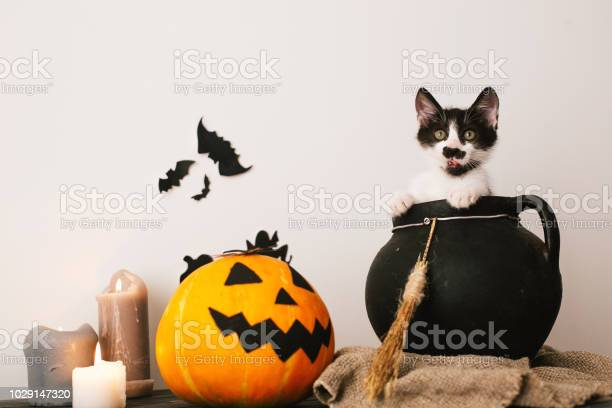 Happy halloween concept cute kitty sitting in witch cauldron with o picture id1029147320?b=1&k=6&m=1029147320&s=612x612&h=qcxgenzyd7aaz wwzvpiqedcisiitevnxgvdmulsjio=