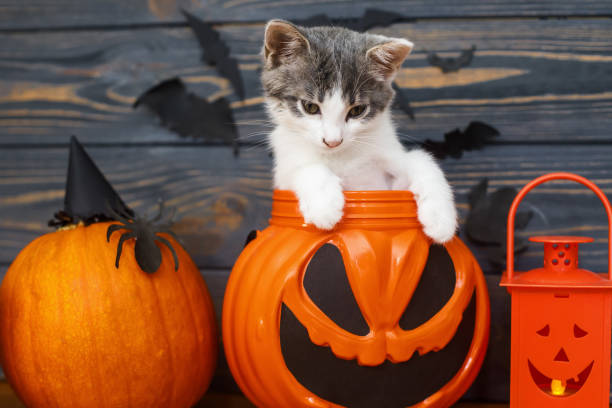Happy halloween cute kitten sitting in jack o lantern candy bucket on picture id1271552699?b=1&k=6&m=1271552699&s=612x612&w=0&h=pwa9knsdokmao0o5tfhrq3hax9nin4kgb093 ku5lnq=