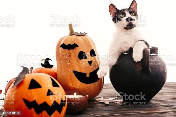 Happy halloween funny kitten sitting in black witch cauldron with o picture id1170518122?b=1&k=6&m=1170518122&s=612x612&h=rb4ebob6mgydn1zcqjnycrogjjrt74cqzl34iao9tjy=