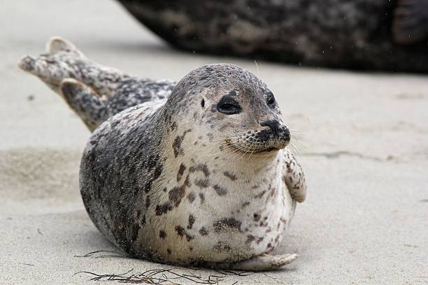 Happy Harbor Seal A smiling Harbor Seal on the beach seal pup stock pictures, royalty-free photos & images