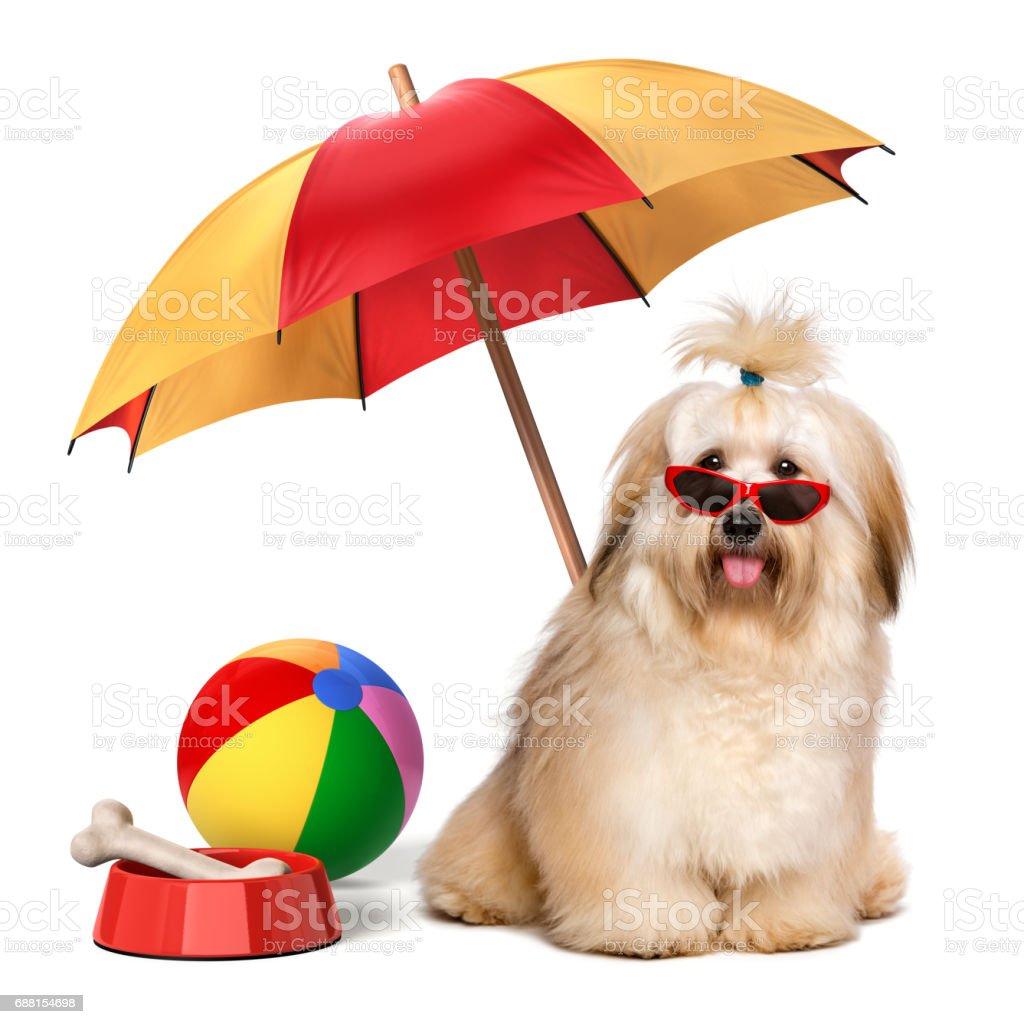 Happy Havanese dog is on summer holiday stock photo