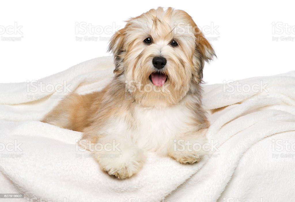 Happy Havanese puppy is lying on a white bedspread stock photo
