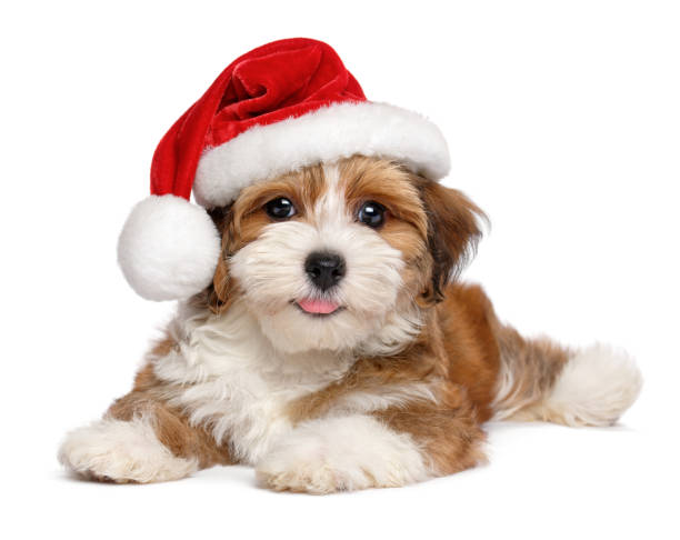 Happy Havanese puppy is wearing a Santa hat Happy smiling Bichon Havanese puppy dog is wearing a Christmas Santa hat - isolated on white background santa hat stock pictures, royalty-free photos & images