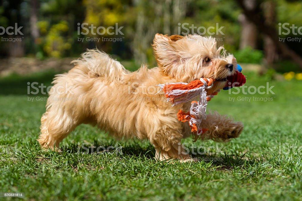 Habanés cachorro feliz corriendo con su juguete en un jardín - foto de stock
