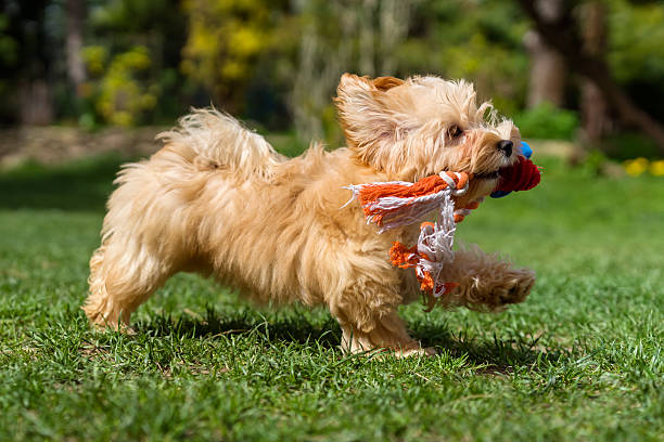 Happy havanese puppy running with her toy in a garden stock photo