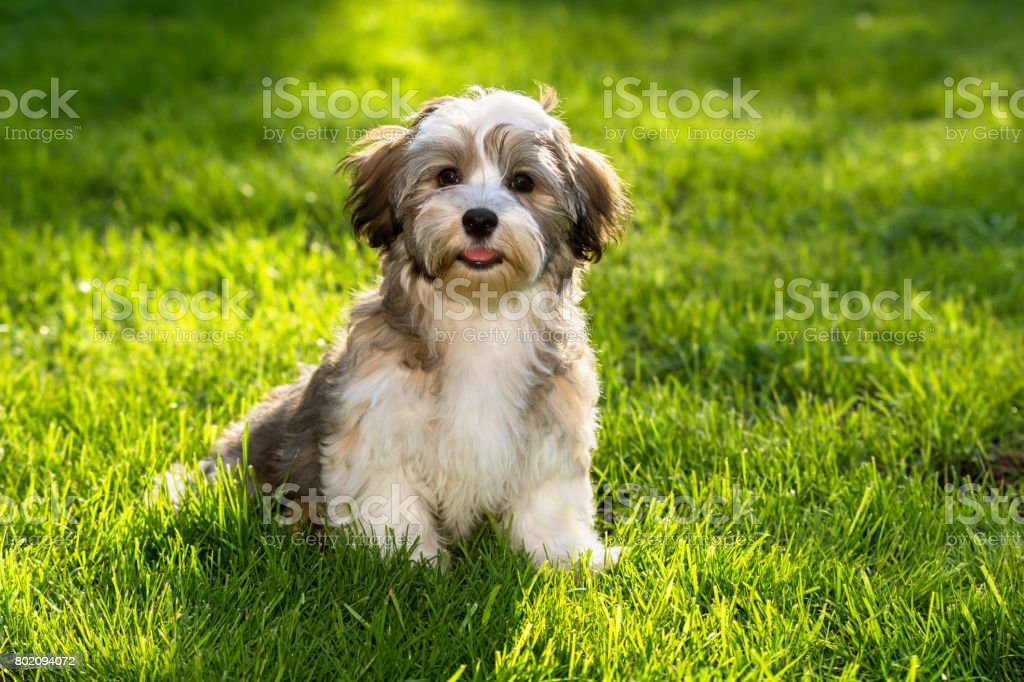 Happy havanese puppy sitting in the grass stock photo