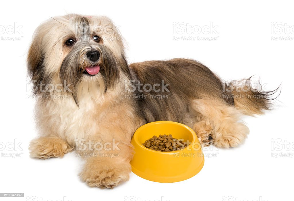 Happy Havanese puppy with her favorite dry food stock photo