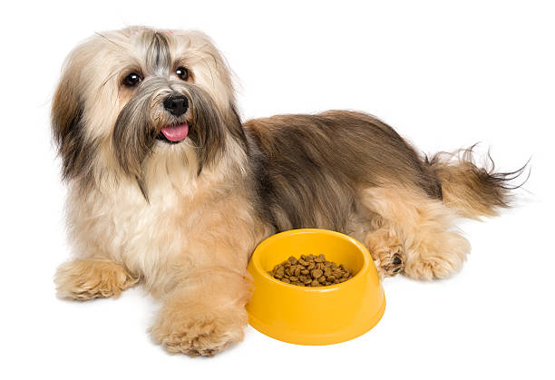 happy havanese puppy with her favorite dry food - havaneser in not stock-fotos und bilder