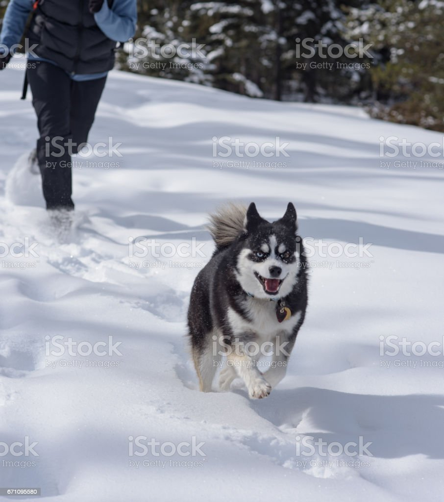 Happy healthy dog runs in snow with hiking woman in pursuit behind stock photo