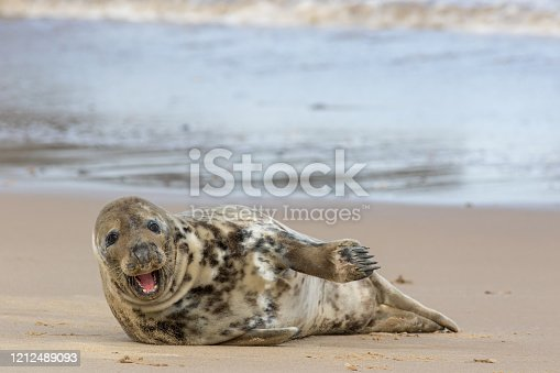 Happy healthy seal. Funny animal meme image of a beautiful friendly single solitary gray seal with mouth open as if laughing and pointing. From the Horsey colony UK.