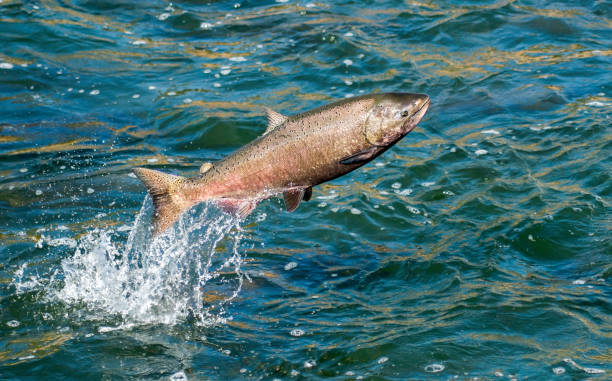 happy hen salmon - chinook salmon stock photos and pictures