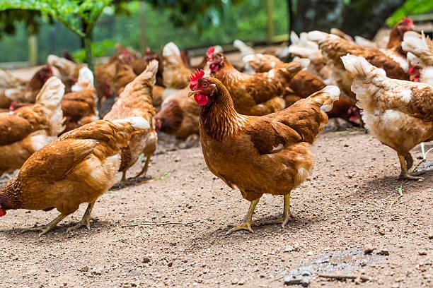 glückliche hühner - henne stock-fotos und bilder