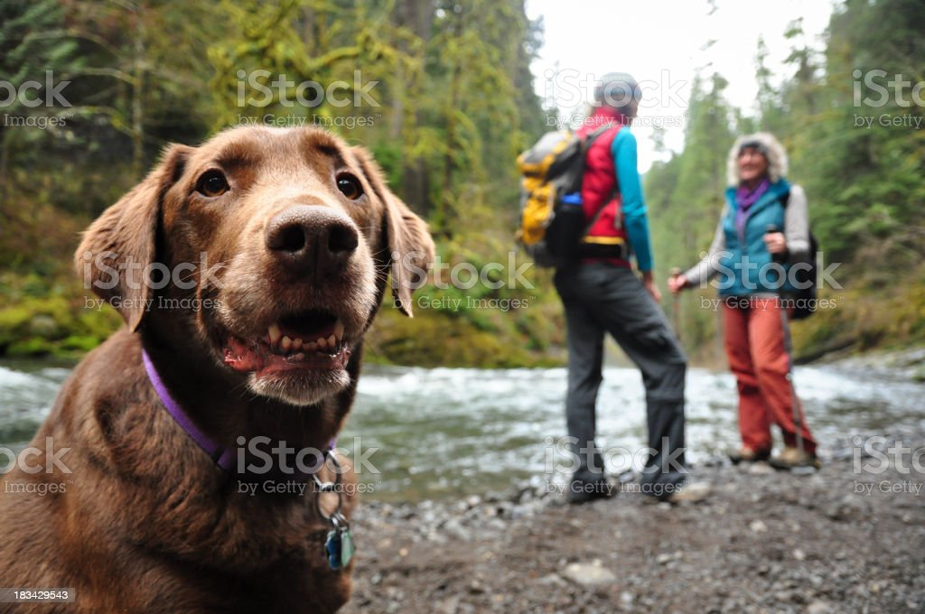 """Happy hiking dog """"A happy chocolate lab and her companions on a hike along Eagle Creek in the Columbia Gorge, Oregon.More shots from the Columbia Gorge:"""" Animal Stock Photo"""
