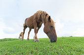 隠岐の島の馬。隠岐の島の野生の馬。美しくものんびりしている。