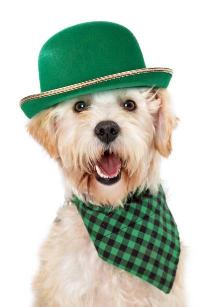 Happy Irish Dog Celebrating St Patricks Day stock photo