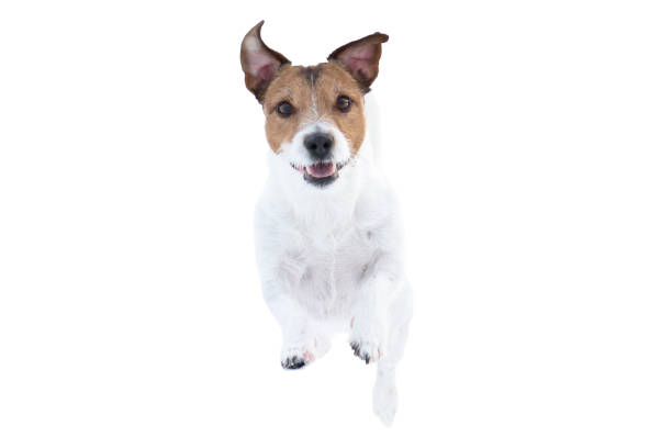 Happy jack russell terrier dog isolated on white background running picture id1140665805?b=1&k=6&m=1140665805&s=612x612&w=0&h=3c59hhfgm1dt4mleg5jhiqt ul33qwythxrerheq3bg=