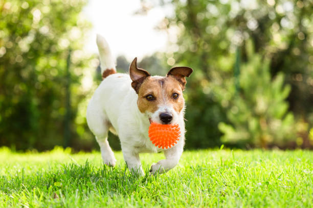 Happy jack russell terrier pet dog playing with toy at back yard lawn picture id972752326?b=1&k=6&m=972752326&s=612x612&w=0&h=dqm5m5g gzcg2 13uwpuw3awfkkweapk0qk kgzwvgk=